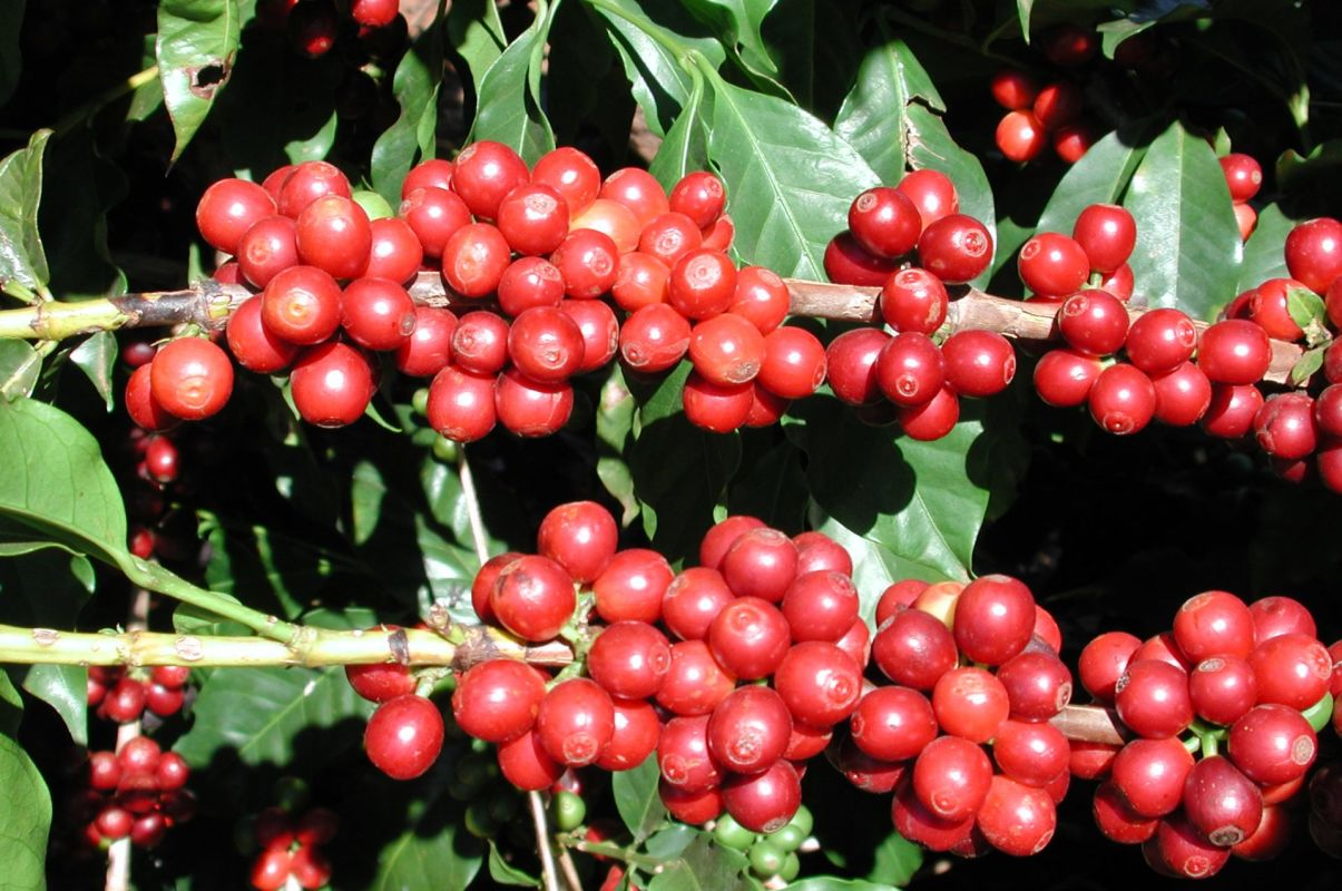 coffee-cherries-at-monte-alegre