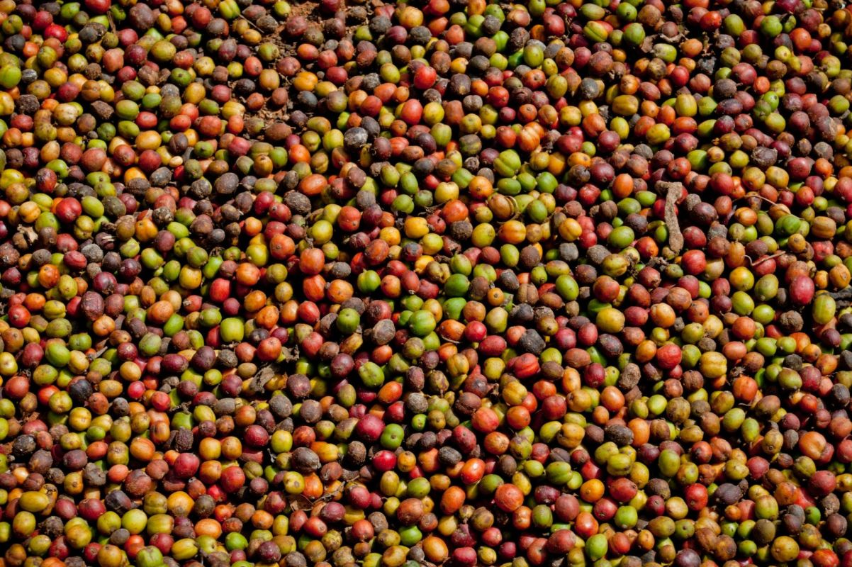 Lots of coffee bean cherries