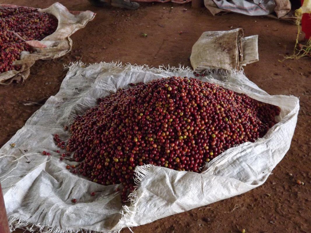 Coffee in Gathaithi